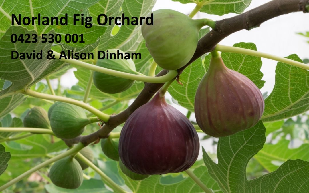 Norland Fig Tour & Tasting